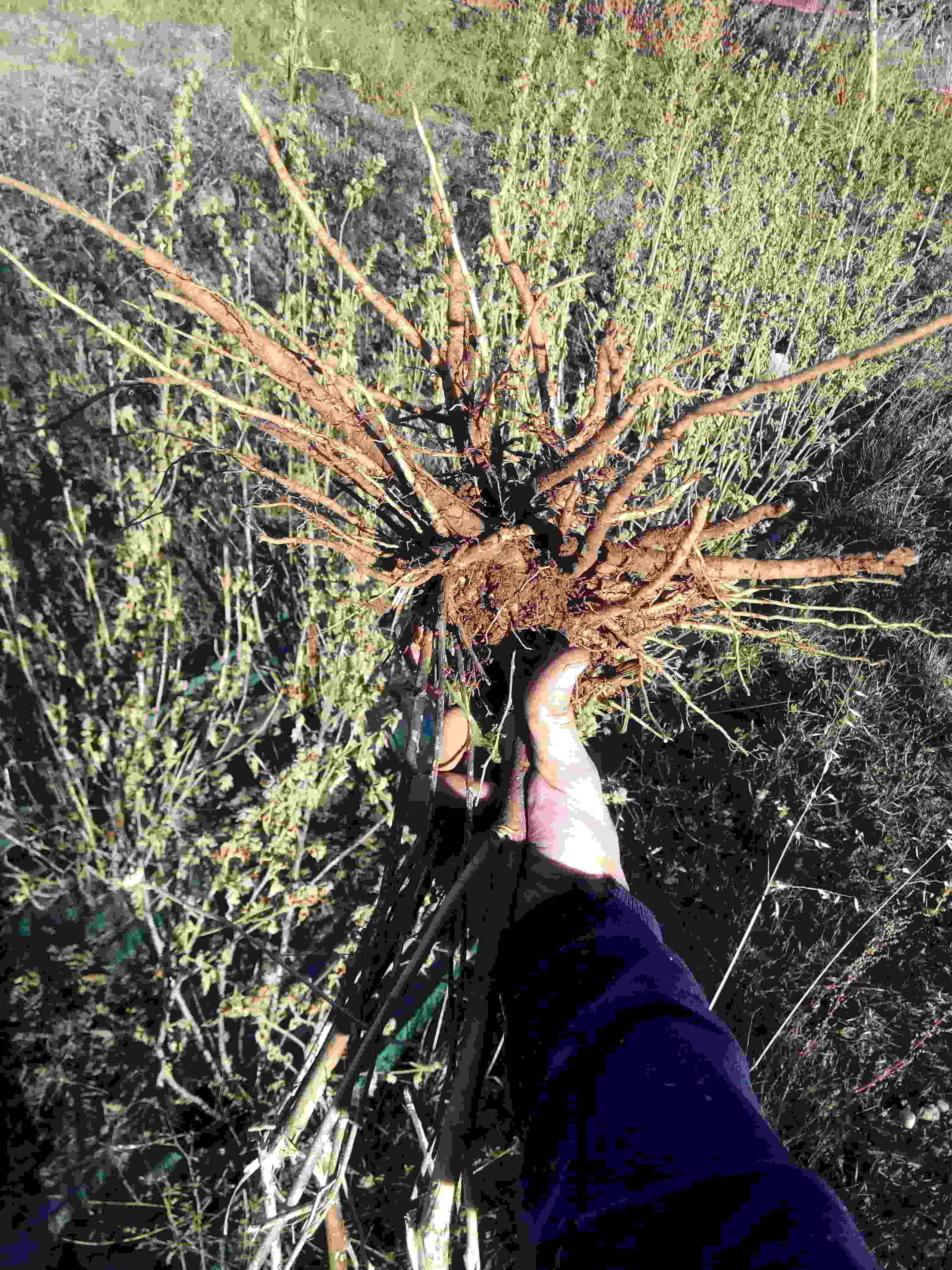Cosecha de raices de equinácea, ragalíz, valeriana y malvavisco